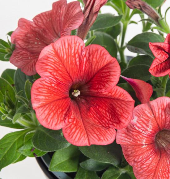 Potunie, světle červená, průměr květináče 10 - 12 cm-8345