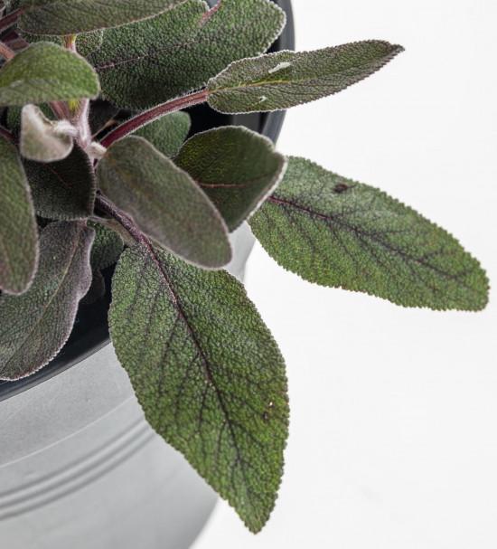 Purpurová šalvěj, Salvia purpurea, v květináči-8074