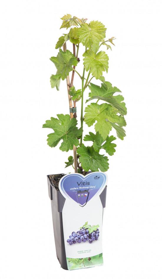 Réva vinná, Vitis vinifera Boskoop Glory, modrá-10496