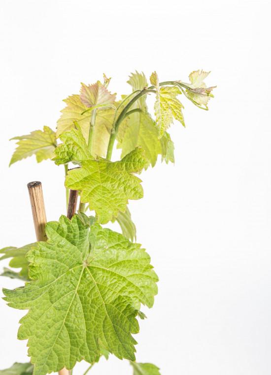 Réva vinná, Vitis vinifera Boskoop Glory, modrá-10497