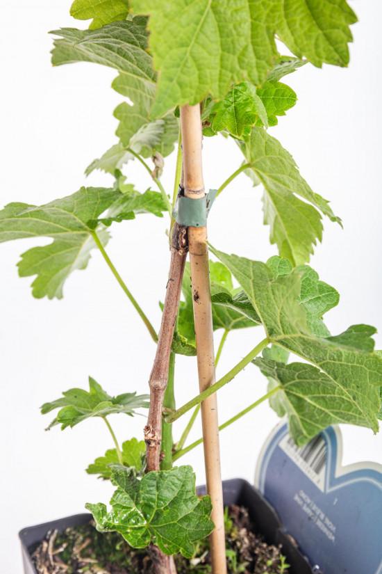 Réva vinná, Vitis vinifera Boskoop Glory, modrá-10498