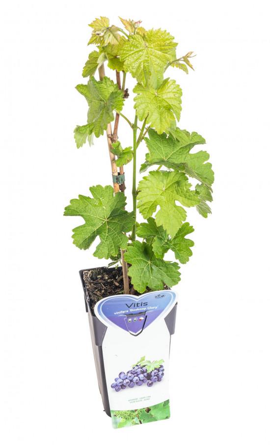 Réva vinná, Vitis vinifera Boskoop Glory, modrá-10499