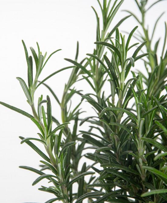 Rozmarýn lékařský, Rosmarinus officinalis, v květináči-7632
