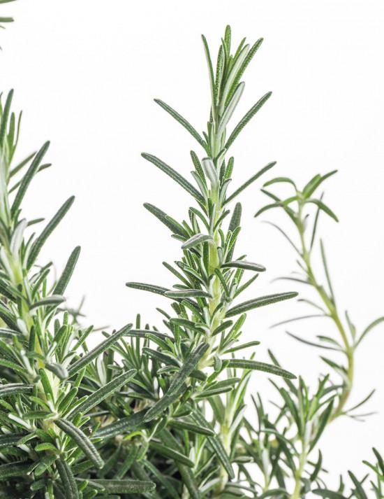 Rozmarýn poléhavý, Rosmarinus repens, v květináči-7848