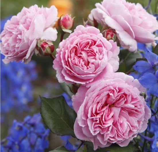 Růže mnohokvětá Kordes Parfuma, Rosa Rosengräfin Marie Hen, růžová, velikost kontejneru 5 l-10676