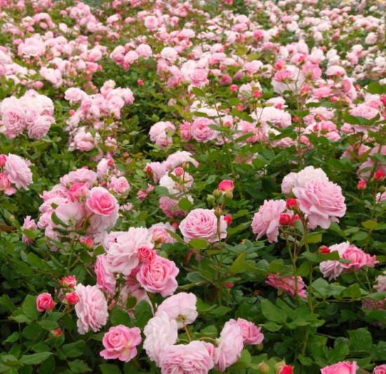 Růže mnohokvětá Kordes Parfuma, Rosa Rosengräfin Marie Hen, růžová, velikost kontejneru 5 l-10677