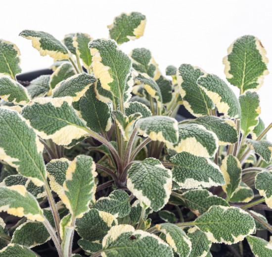 Šalvěj lékařská Tricolor, Salvia Tricolor, v květináči-8071