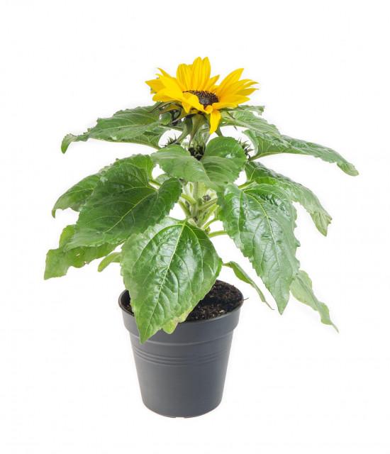 Slunečnice, Helianthus, žlutá, průměr květináče 13 cm-8455