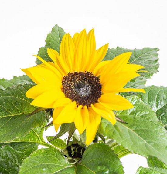 Slunečnice, Helianthus, žlutá, průměr květináče 13 cm-8456