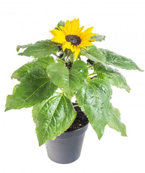 Slunečnice, Helianthus, žlutá, průměr květináče 13 cm-8457