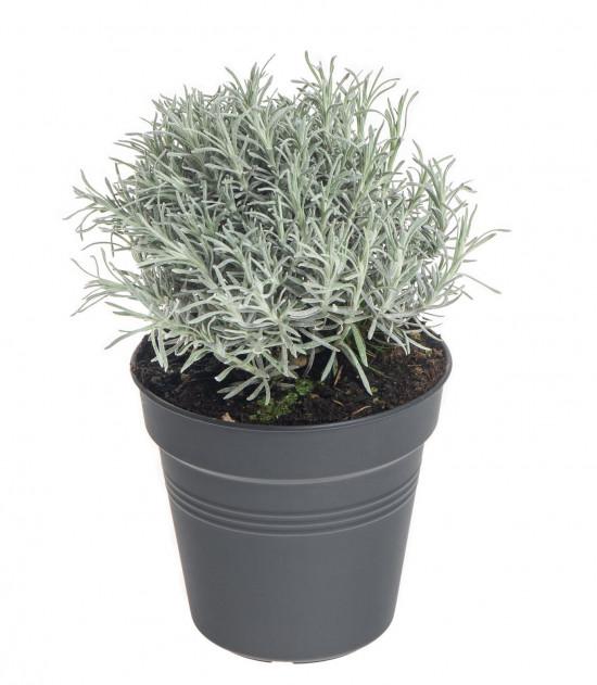 Smil italský - kari, Helichrysum italicum (angustifolium), v květináči-7857