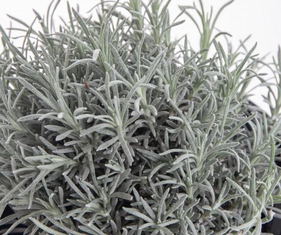 Smil italský - kari, Helichrysum italicum (angustifolium), v květináči-7858