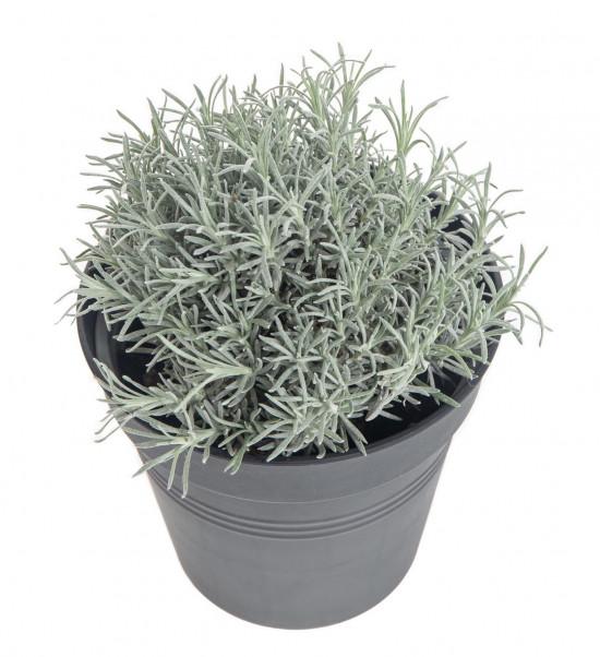 Smil italský - kari, Helichrysum italicum (angustifolium), v květináči-7859
