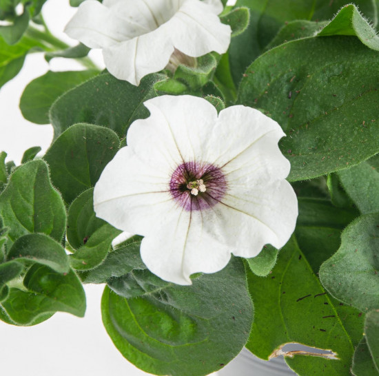 Surfinie převislá, bílá, průměr květináče 10 - 12 cm-8526