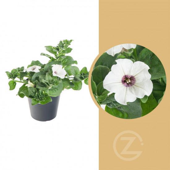 Surfinie převislá, bílá, velikost květináče 10 - 12 cm-8524