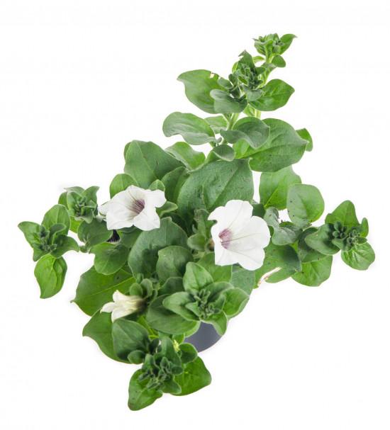 Surfinie převislá, bílá, velikost květináče 10 - 12 cm-8527
