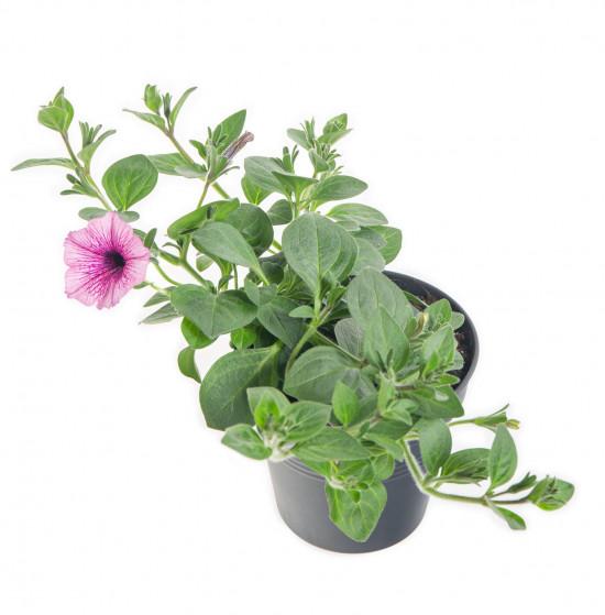Surfinie převislá, bílo - fialová, průměr květináče 10 - 12 cm-8550