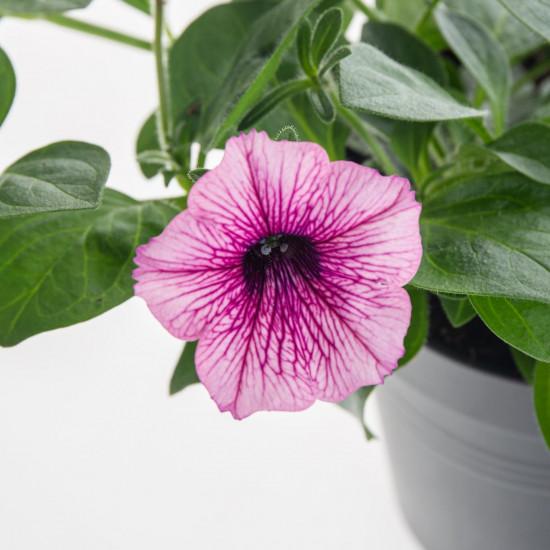 Surfinie převislá, bílo - fialová, průměr květináče 10 - 12 cm-8551