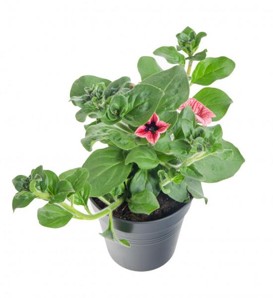 Surfinie převislá, červená, průměr květináče 10 - 12 cm-8531
