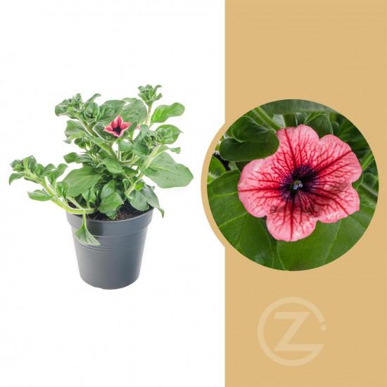 Surfinie převislá, červená, velikost květináče 10 - 12 cm