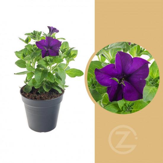 Surfinie převislá, modrá, průměr květináče 10 - 12 cm
