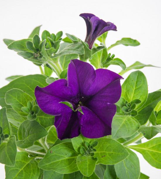 Surfinie převislá, modrá, průměr květináče 10 - 12 cm-8534