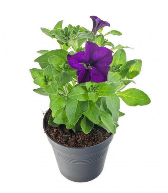 Surfinie převislá, modrá, průměr květináče 10 - 12 cm-8535
