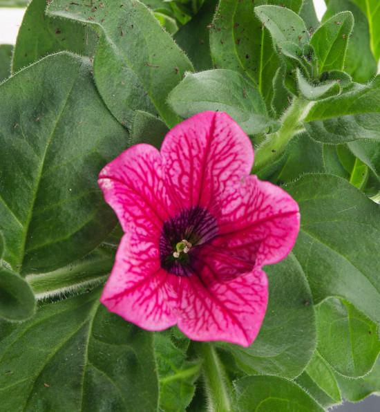 Surfinie převislá, světle růžová, průměr květináče 10 - 12 cm-8539