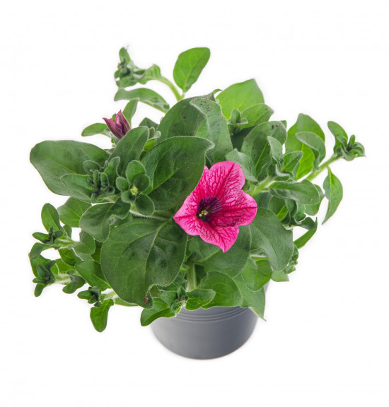 Surfinie převislá, světle růžová, průměr květináče 10 - 12 cm-8540