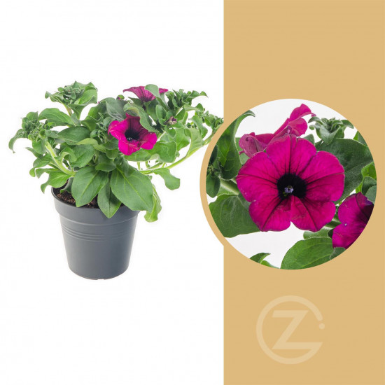Surfinie převislá, tmavě růžová, průměr květináče 10 - 12 cm