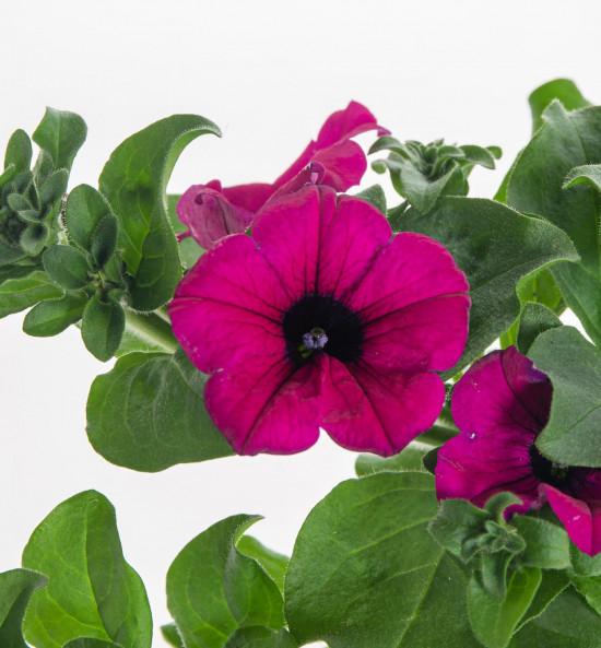 Surfinie převislá, tmavě růžová, průměr květináče 10 - 12 cm-8543