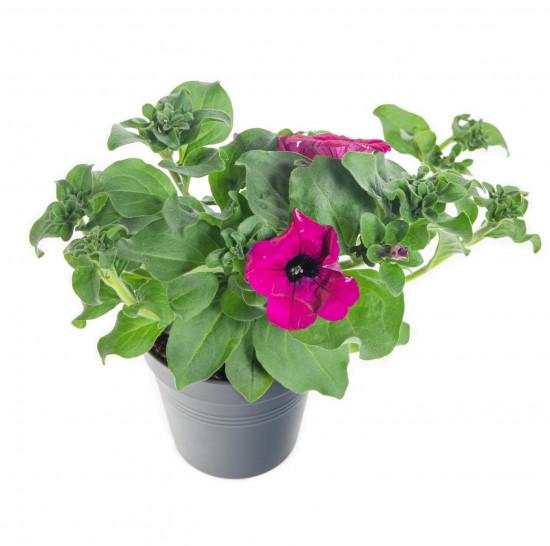 Surfinie převislá, tmavě růžová, průměr květináče 10 - 12 cm-8544