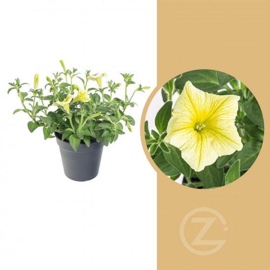Surfinie převislá, žlutá, průměr květináče 10 - 12 cm