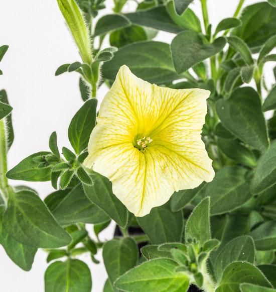 Surfinie převislá, žlutá, průměr květináče 10 - 12 cm-9075