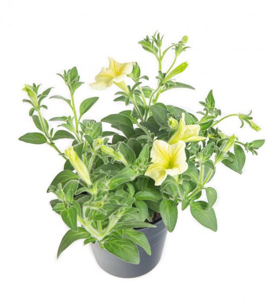 Surfinie převislá, žlutá, průměr květináče 10 - 12 cm-9076