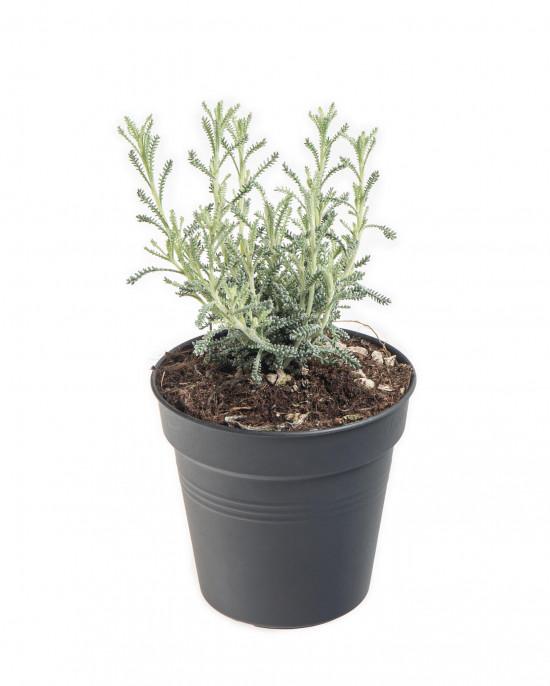Svatolína cypřišová, Santolina chamaecyparissus, v květináči
