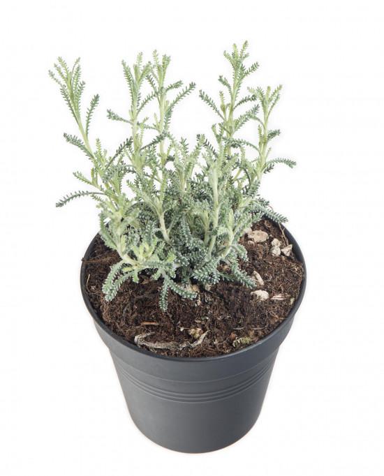 Svatolína cypřišová, Santolina chamaecyparissus, v květináči-8930