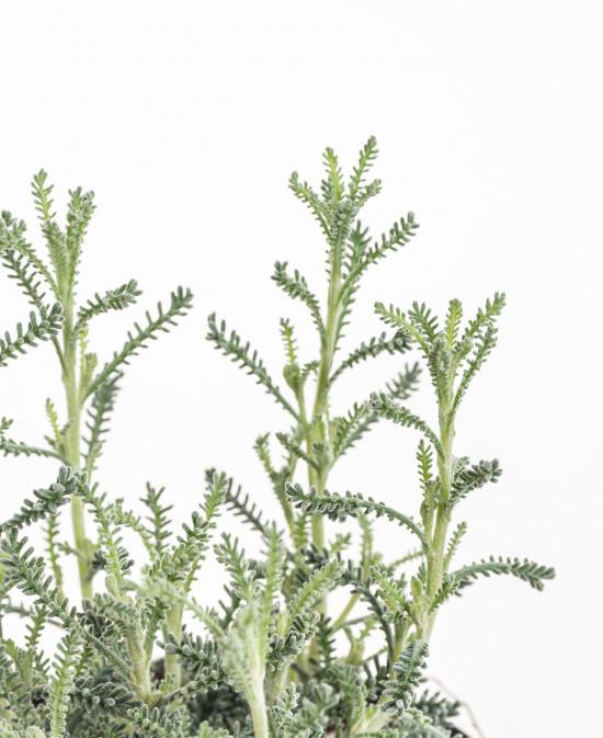 Svatolína cypřišová, Santolina chamaecyparissus, v květináči-8931