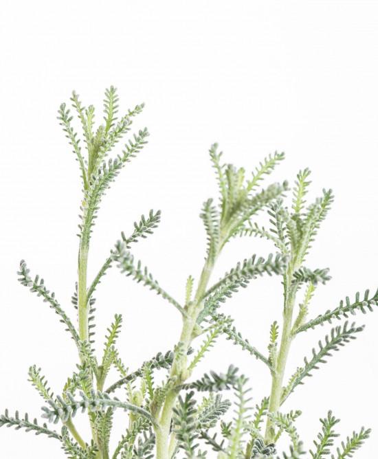 Svatolína cypřišová, Santolina chamaecyparissus, v květináči-8932