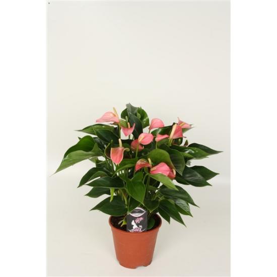 Toulitka, Anthurium Anthedesia Pink, růžová, průměr květináče 13 - 15 cm-1720