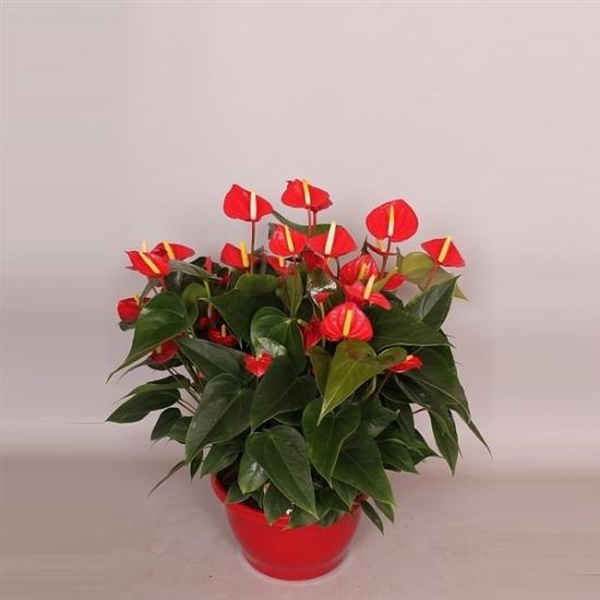 Toulitka, Anthurium Ariane Red, světle červená, průměr květináče 24 cm