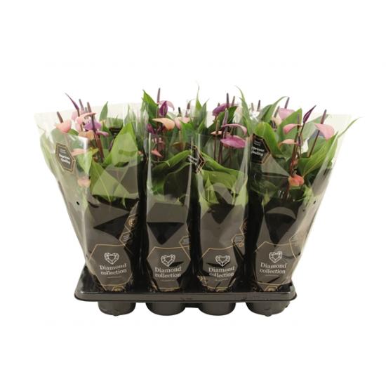 Toulitka, Anthurium Fiorino, světle fialová, průměr květináče 13 - 15 cm