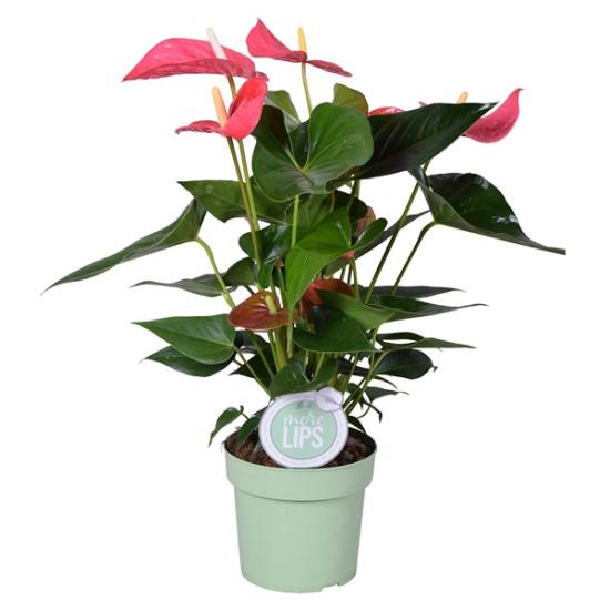 Toulitka, Anthurium Maine, světle růžová, průměr květináče 13 - 15 cm