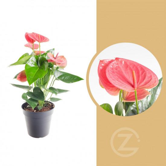 Toulitka, Anthurium Pink Fever, růžová, průměr květináče 13 - 15 cm