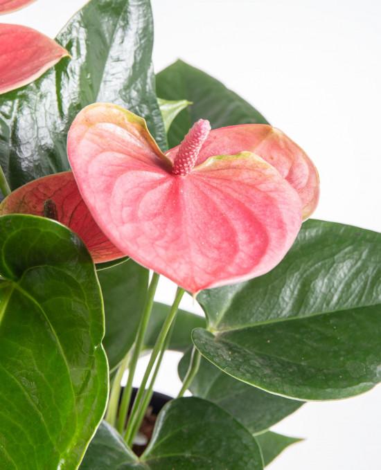Toulitka, Anthurium Pink Fever, růžová, průměr květináče 13 - 15 cm-9341