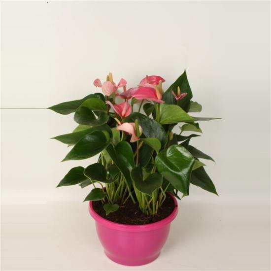 Toulitka, Anthurium Pink Fever, růžová, průměr květináče 24 cm-1731