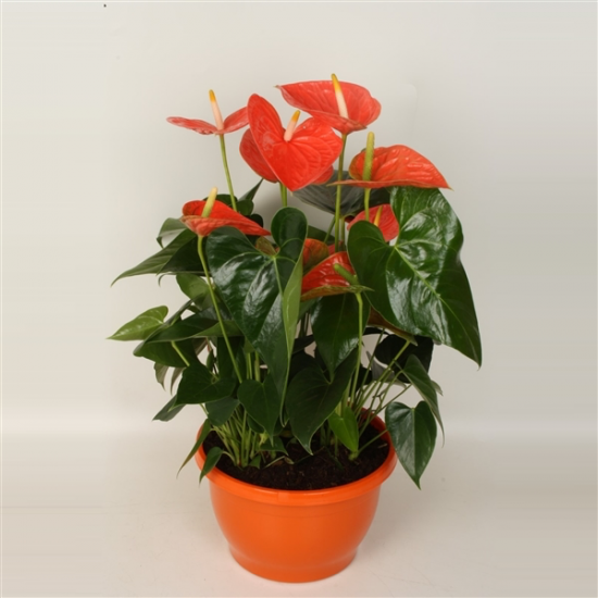 Toulitka, Anthurium Prince of Orange, oranžová, průměr květináče 24 cm