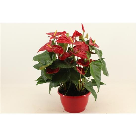Toulitka, Anthurium Red Winner, červená, průměr květináče 24 cm