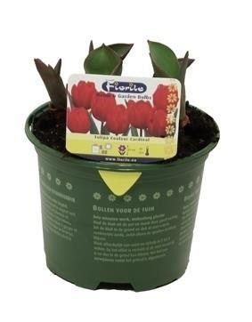 Tulipán červený, rychlený, květináč 10 - 12 cm-5688