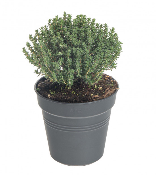 Tymián obecný, Thymus vulgaris, v květináči